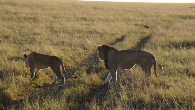 A mating lion pair in courtship inside Masai Mara national reserve during a wildlife safari
