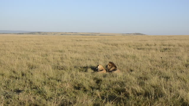 A mating lion relaxing in the plains of Masai Mara National Reserve during a wildlife safari