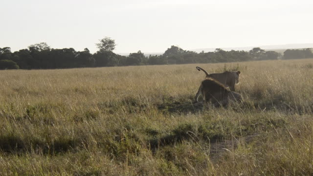 Mating lions in courtship during their mating ritual inside Masai Mara National Reserve during a wildlife safari