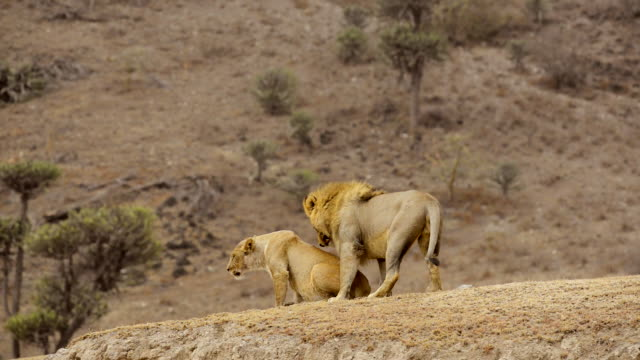 mating lions, ngorongoro conservation area, tanzania, africa - comportamento animale video stock e b–roll