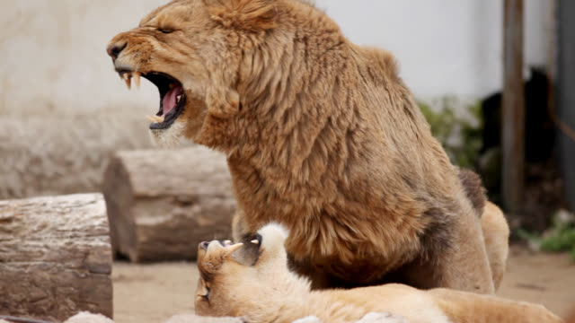 mating lions. - aggression stock videos & royalty-free footage