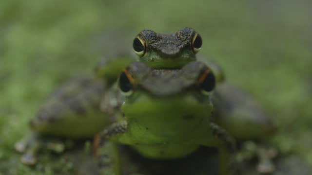 mating pair of black spotted rock frogs - pair stock videos and b-roll footage