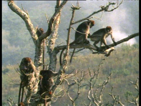 mating red colobus monkeys are interrupted by juvenile monkey prodding male's bottom, africa - 1982 stock videos and b-roll footage
