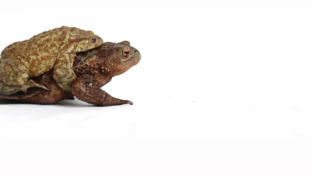 Mating Toads on white Background