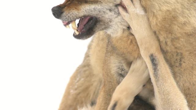 vídeos y material grabado en eventos de stock de los lobos apareamiento - garra