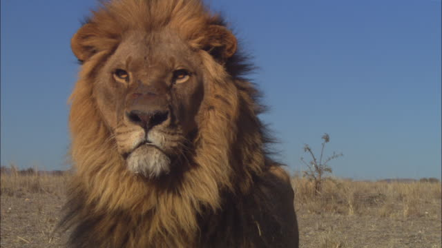 vídeos de stock, filmes e b-roll de cu mature african lion very close to camera looks out intently then moves off - machos