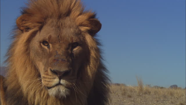CU mature African lion very close to camera snarls and looks out intently then moves off