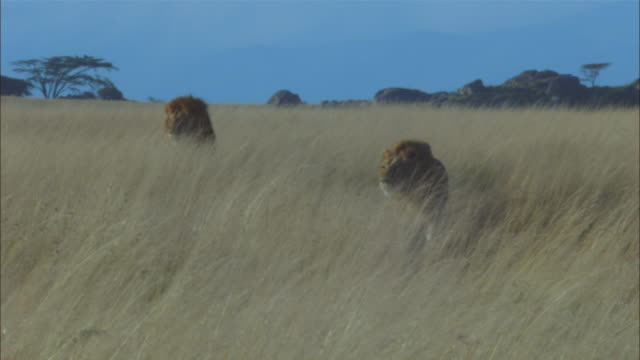 ms 2 mature african lions walk to camera in long grass looking intently out of frame - two animals stock-videos und b-roll-filmmaterial
