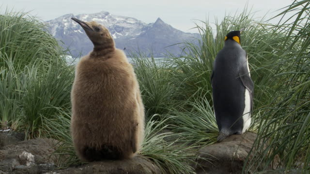 ms mature and young king penguin (aptenodytes patagonicus) standing in grass, mountains in background / salisbury plain, south georgia and the south sandwich islands - 雛鳥点の映像素材/bロール