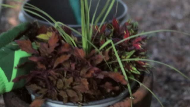 vídeos de stock e filmes b-roll de mature blonde female gardening planting flowers on a sunny spring day - colocar planta em vaso