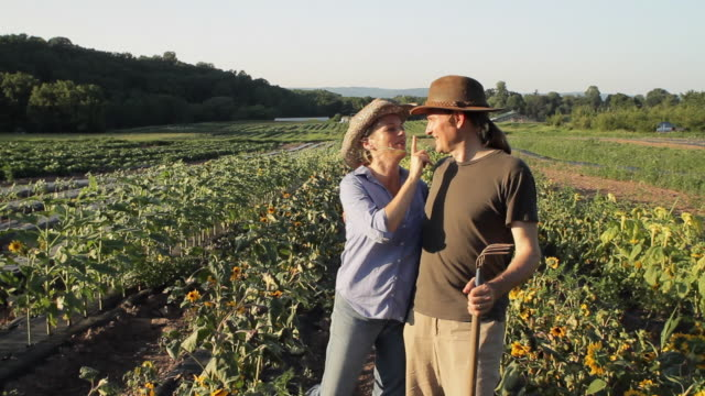 ws mature couple  in sunflower field, talking, laughing and kissing / lebonan township, new jersey, usa - mature couple stock videos & royalty-free footage