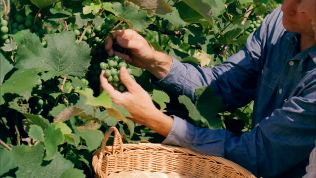 cu, mature couple picking grapes in vineyard, close-up of hands, marlboro, new york state, usa - marlboro new york stock videos and b-roll footage