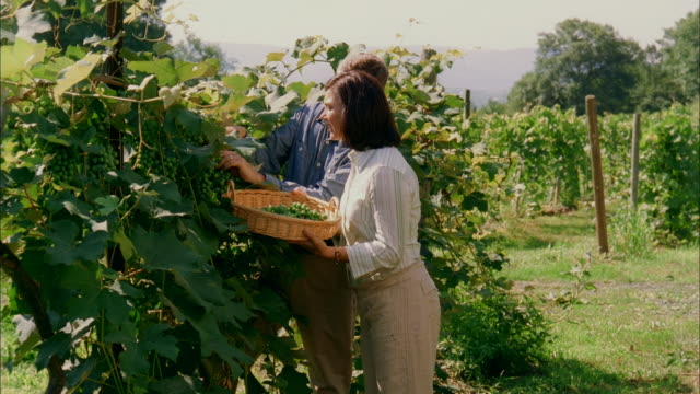 ms, mature couple picking grapes in vineyard, marlboro, new york state, usa - marlboro new york stock videos and b-roll footage