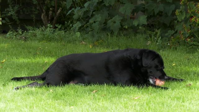 mature dog lying in the shade on a summers day - shade stock videos & royalty-free footage