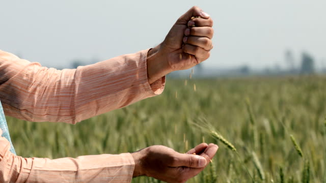cu mature farmer examining wheat grains while standing in a field / samalkha, haryana, india - cereal plant stock videos & royalty-free footage