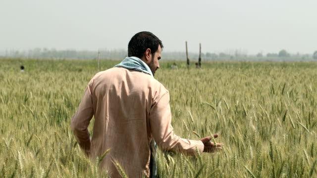 ws pov mature farmer examining wheat plant while standing in field / samalkha, haryana, india - one mature man only stock-videos und b-roll-filmmaterial