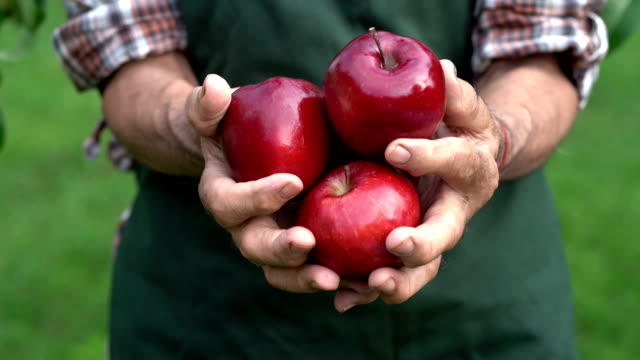 4K Mature farmer holding red apples