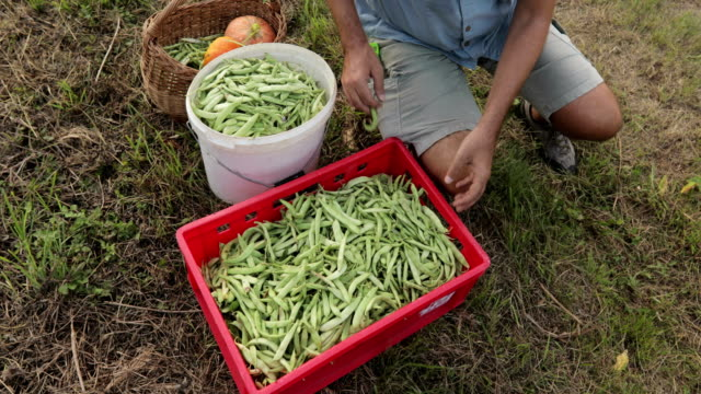vídeos de stock e filmes b-roll de mature farmer lifting basket full of harvested homegrown organic runner bean on tractor trailer - eslovénia