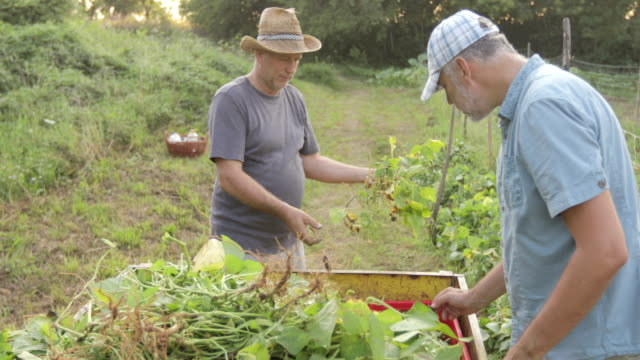 mature farmer talking to other two farmers while harvesting runner bean - runner bean stock videos & royalty-free footage
