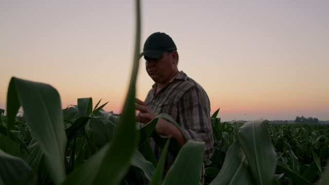 ms mature farmer walking through a field at sunset - cap stock videos & royalty-free footage