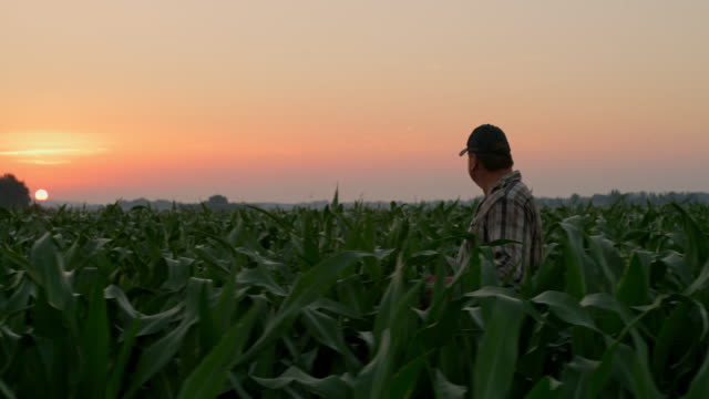 ws mature farmer walking through a field at sunset - agricultural activity stock videos & royalty-free footage
