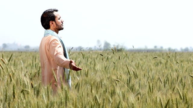 ms mature farmer with arms outstretched standing in wheat field / samalkha, haryana, india - haryana stock videos & royalty-free footage