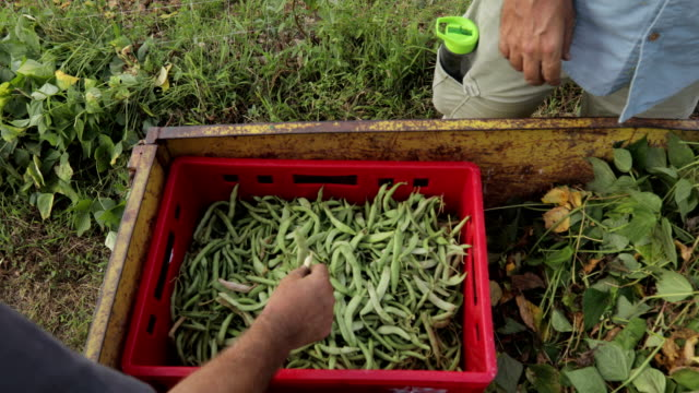 mature farmers harvesting runner bean on tractor trailer - runner bean stock videos & royalty-free footage
