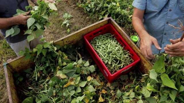 vidéos et rushes de matures agriculteurs récolte haricot d'espagne - image saisie sur le vif