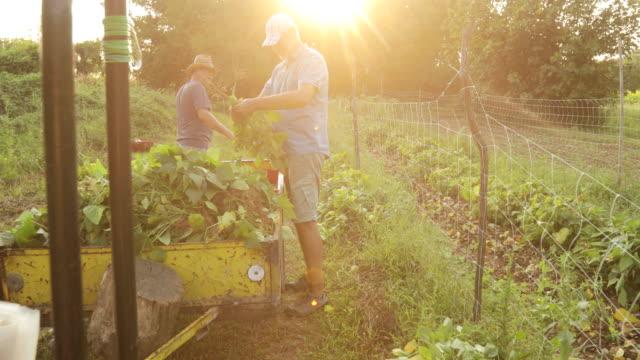 mature farmers harvesting runner bean - runner bean stock videos & royalty-free footage