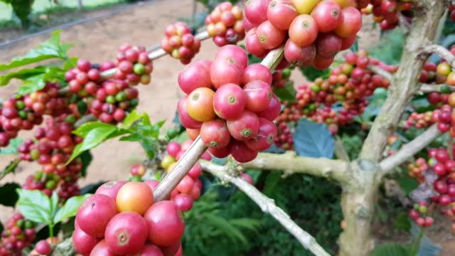 Mogen frukt av kaffe bönor i växt