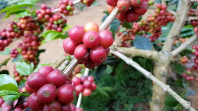 植物のコーヒー豆の成熟した果実 - コーヒー豆点の映像素材/bロール
