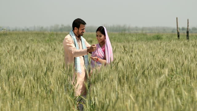 stockvideo's en b-roll-footage met ws cs mature man giving wheat grains to his wife in a wheat field / samalkha, haryana, india - driekwartlengte