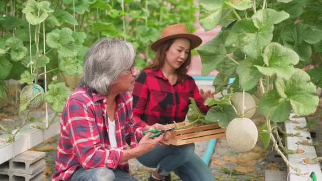 Mature man guiding the female worker in the cantaloupe farm