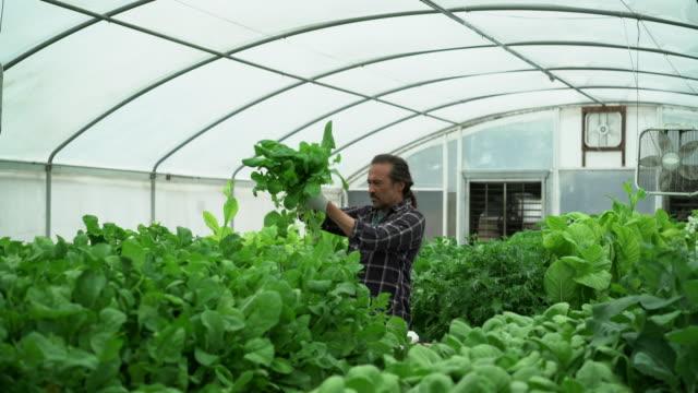 WS Mature man harvesting lettuce in a hydroponic farm