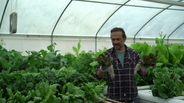 WS Mature man holding up freshly picked lettuce in a hydroponic farm
