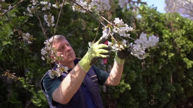 mature man pruning fruit trees with pruning shears in spring garden - pruning stock videos & royalty-free footage