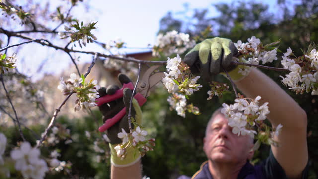 mature man pruning fruit trees with pruning shears in spring garden - mature men stock videos & royalty-free footage