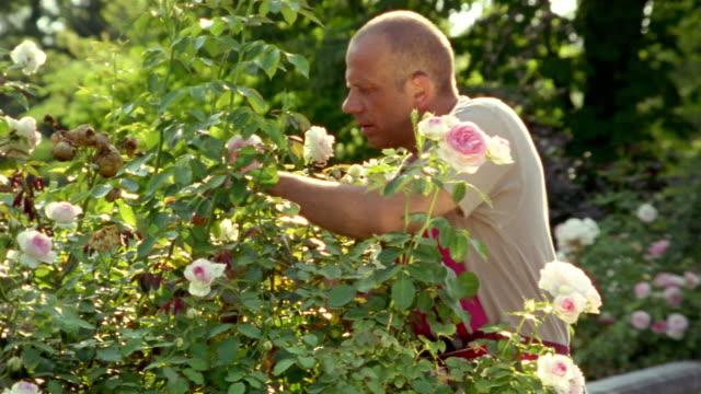 mature man pruning rose bush in outdoor garden / saint-ferme, france - pruning stock videos & royalty-free footage