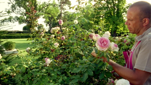 Mature man pruning rose bush in outdoor garden / Saint-Ferme, France