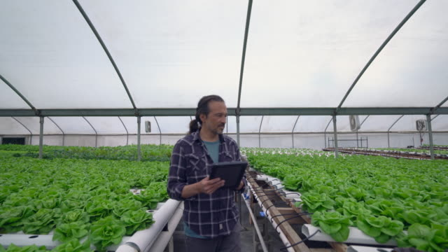 vidéos et rushes de ms ts mature man using a digital tablet in a hydroponic farm - entrepreneur