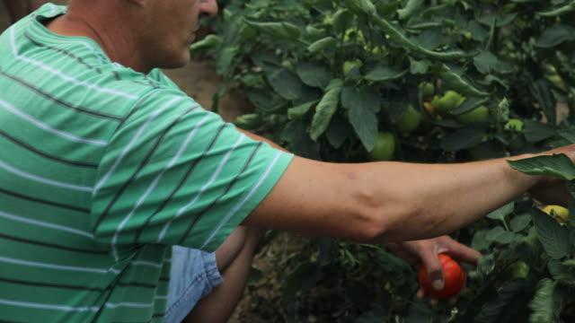 vidéos et rushes de homme mûr qui travaille sur la ferme - potager