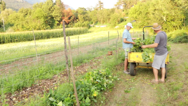mature men harvesting runner bean on tractor trailer - runner bean stock videos & royalty-free footage