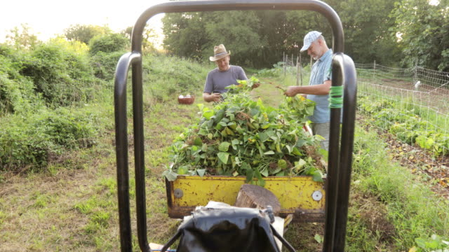 mature men harvesting runner bean together - runner bean stock videos & royalty-free footage