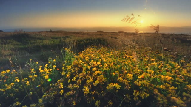 mature middle aged woman hiking field of wildflowers on oregon coast at sunset - wildflower stock videos & royalty-free footage