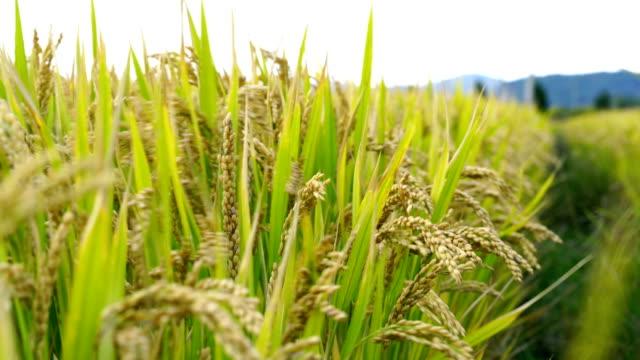 vídeos de stock, filmes e b-roll de arroz paddy maduro - arroz alimento básico