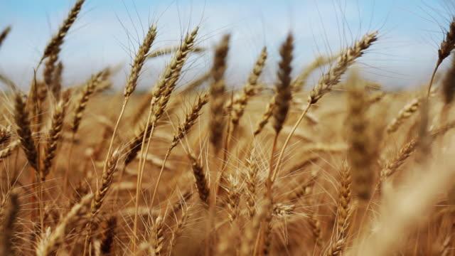 Reife Weizen Feld