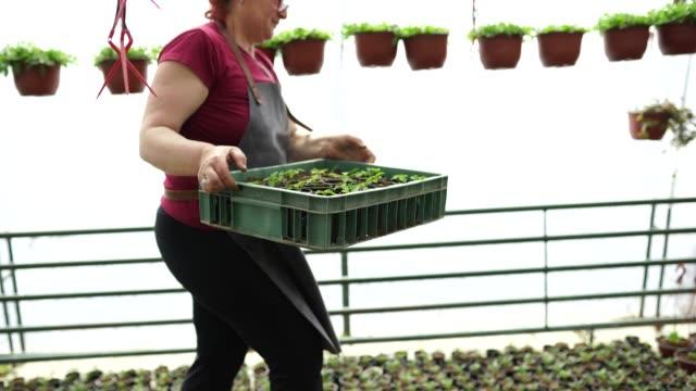 mogen kvinna som transporterar plast låda i ett växthus - endast en medelålders kvinna bildbanksvideor och videomaterial från bakom kulisserna