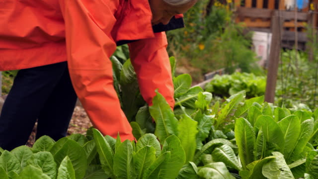 MS Mature woman harvesting lettuce from community vegetable garden