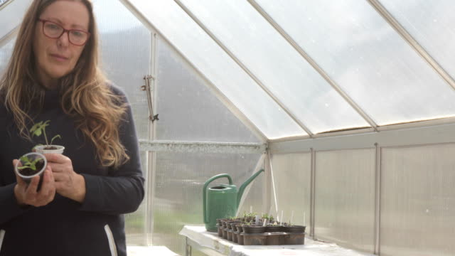 vidéos et rushes de femme mûre retenant la tomate planant devant l'appareil-photo en serre chaude - jardin potager
