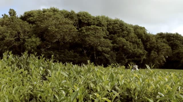 Mauritian tea industry 1